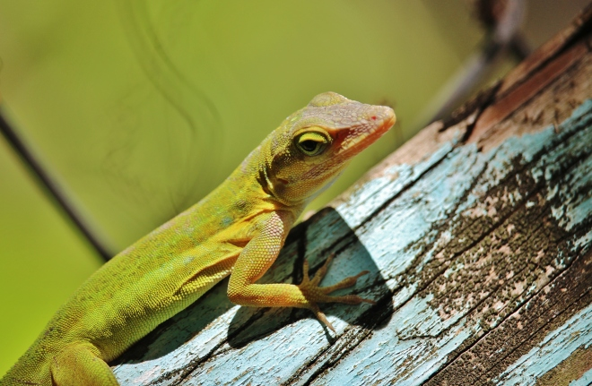 A Green Panther Anole